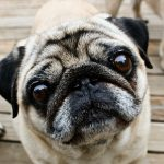 A Gene for Puggishness
