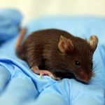 Do Mice Make Good Models?