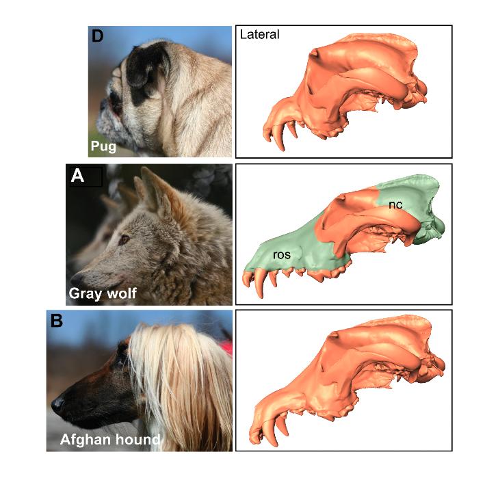 dog skulls comparison